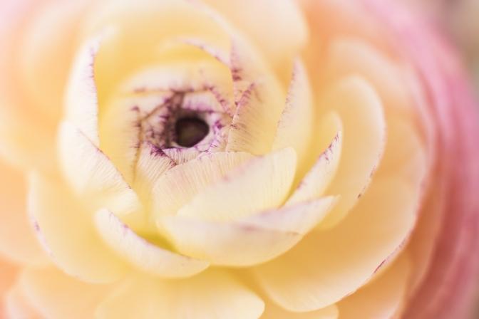 Ranunculus | Neely Wang Photography