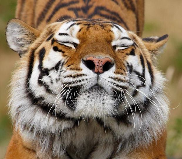 tiger stretchies
