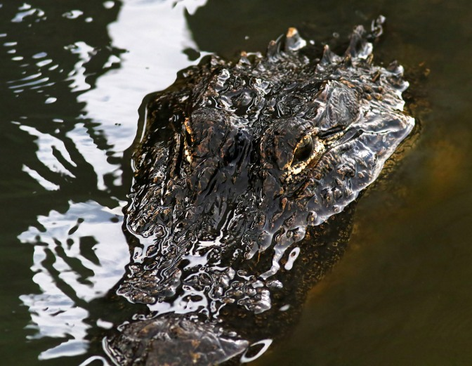 Alligators As Art
