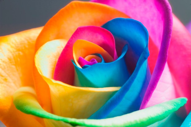 Colorful-ainbow-Rose