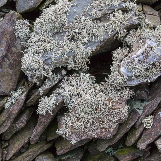 Lichen landscape, Carreg Ti-pw, Ceredigion.