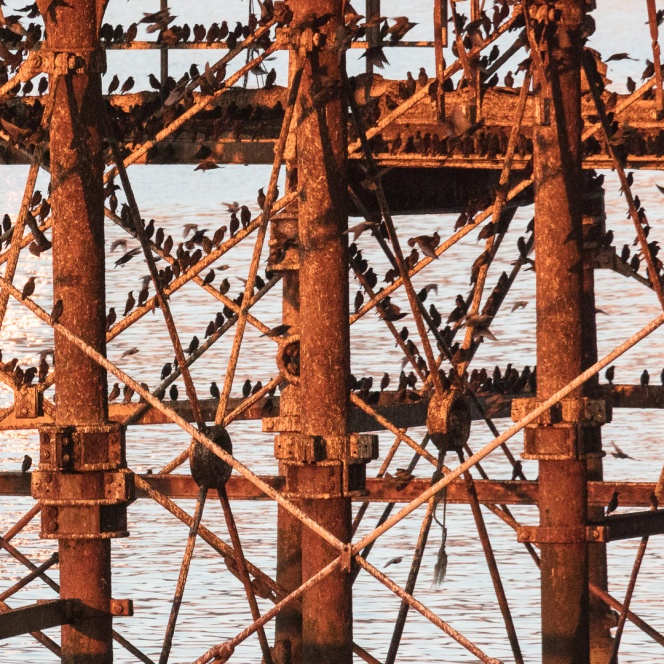 Murmuration roost at sunset, Aberystwyth pier, Ceredigion