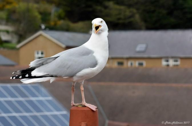 Herring Gull Larus argentatus