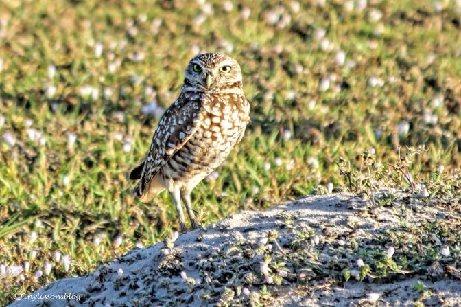 Burrowed Owl UD152